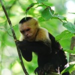 Affe im Nationalpark Manuel Antonio