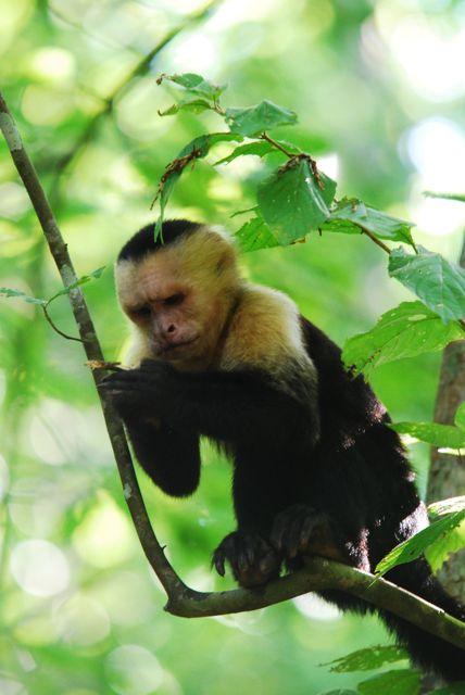 Affe im Nationalpark Manuel Antonio