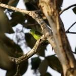 Papagei Corvovado