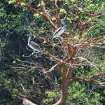 Pelikan im Nationalpark Manuel Antonio
